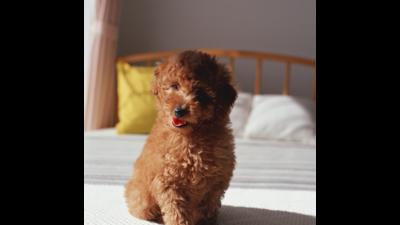 Brown Dog 1