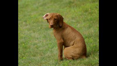 Brown Dog 3
