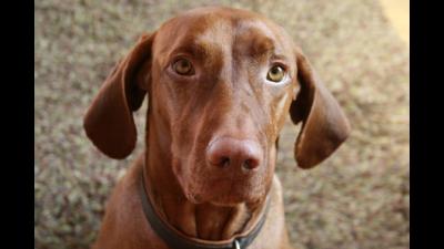 Brown Dog 4