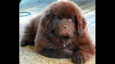 Brown Dog 6