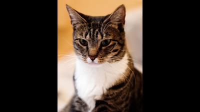 Brown Tabby Cat 1