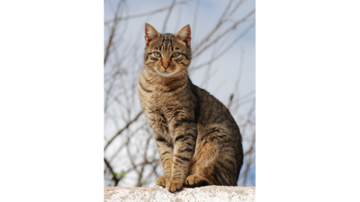 Brown Tabby Cat 2