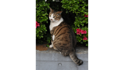 Brown Tabby Cat 3