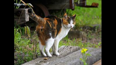 Calico Cat 3