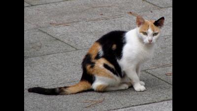 Calico Cat 5