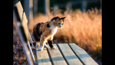 Calico Cat 6