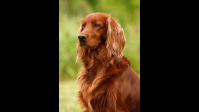 Chestnut Dog 2