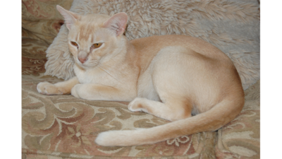 Cream or Ivory Cat 3