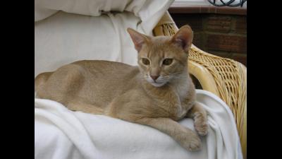 Fawn Cat 1