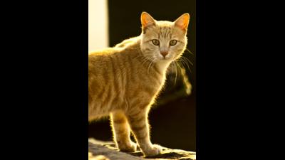 Fawn Tabby Cat 1