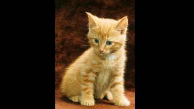 Fawn Tabby Cat 2