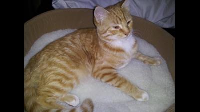 Fawn Tabby Cat 3