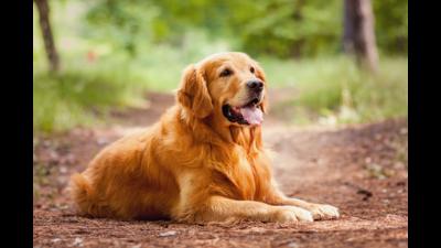 Golden dog 3