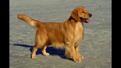 Golden dog 4