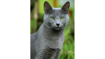 Gray & Blue Cat 5