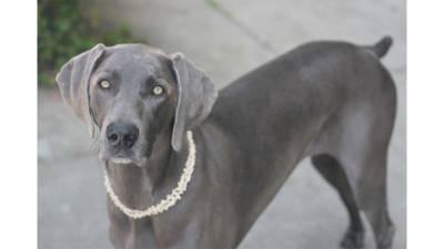 Gray Dog 1