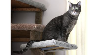 Gray,Blue or Silver Tabby Cat 1
