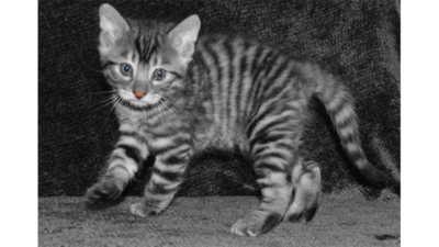 Gray,Blue or Silver Tabby Cat 3