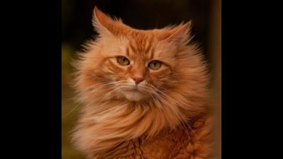 Orange Cat 3