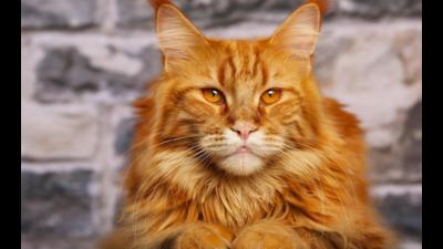 Orange Cat 4