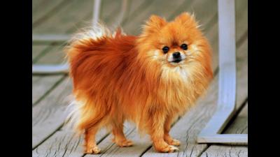 Orange Dog 1
