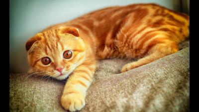 Orange Tabby Cat 1