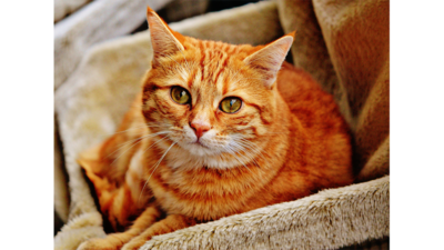 Orange Tabby Cat 2