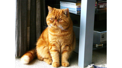 Orange Tabby Cat 3