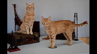 Orange Tabby Cat 4