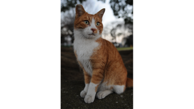 Orange and White Cat 1