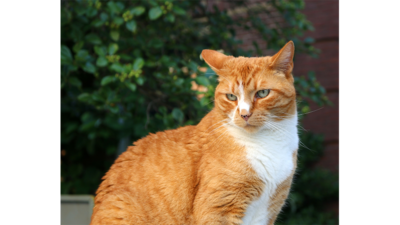 Orange and White Cat 5