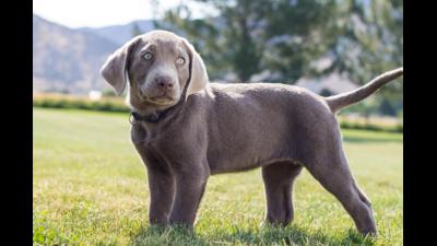 Silver Dog 1
