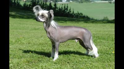 Silver Dog 4