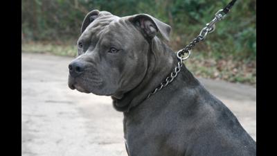 Silver Dog 6