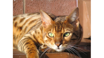 Spotted Tabby Cat 1