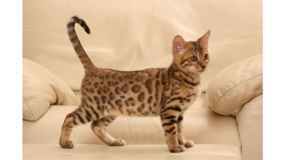Spotted Tabby Cat 3