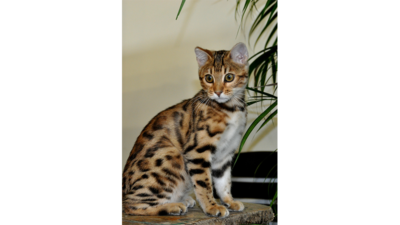 Spotted Tabby Cat 4