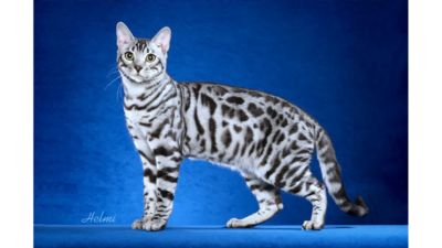 Spotted Tabby Cat 5