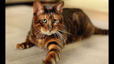 Tiger Cat 1