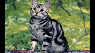 Tiger Cat 3