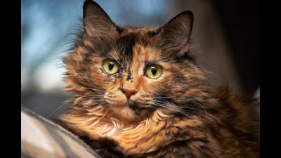 Tortoiseshell Cat 1