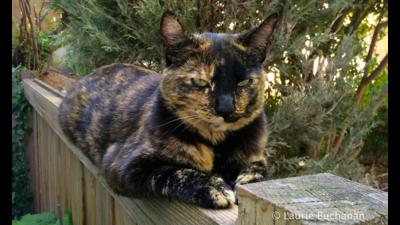 Tortoiseshell Cat 4